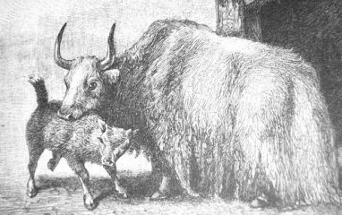 http://commons.wikimedia.org/wiki/File:Yak_Drawing_historic.jpg