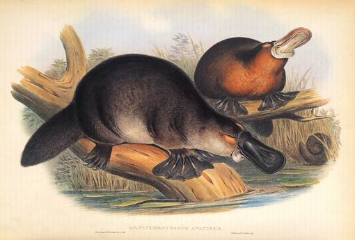 http://commons.wikimedia.org/wiki/Image:Gould_John_Duckbilled_Platypus_1845-1863.png