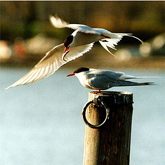 http://commons.wikimedia.org/wiki/File:Arctic_terns.jpg