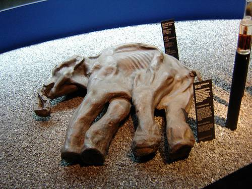 http://en.wikipedia.org/wiki/Image:Baby_Mammoth_-_Luzern%2C_Switzerland.JPG