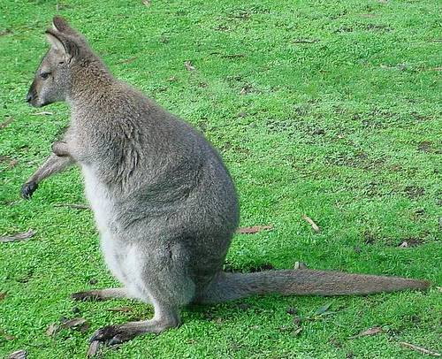 http://commons.wikimedia.org/wiki/File:Red-necked-Wallaby.jpg