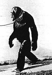 http://en.wikipedia.org/wiki/Image:Humanzee2.jpg