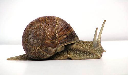 http://commons.wikimedia.org/wiki/Image:Grapevinesnail_01.jpg