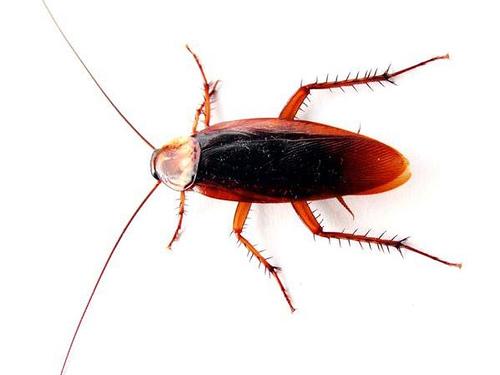 http://commons.wikimedia.org/wiki/Image:Cockroach_closeup.jpg
