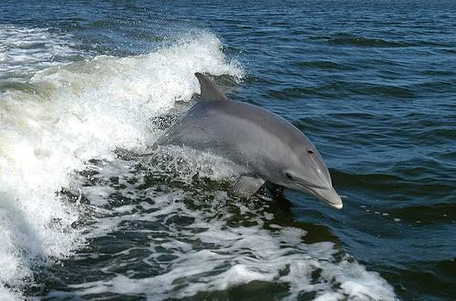 http://commons.wikimedia.org/wiki/File:Bottlenose_Dolphin_KSC04pd0178.jpg