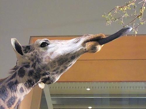 http://en.wikipedia.org/wiki/Image:Giraffe_%28head%29.jpg
