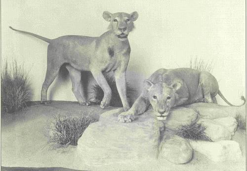 http://en.wikipedia.org/wiki/Image:Tsavo_Maneaters_Field_Museum.jpg