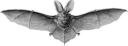 http://commons.wikimedia.org/wiki/Image:Haeckel_Chiroptera_Plecotus_auritus_1.jpg