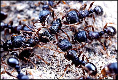 http://en.wikipedia.org/wiki/Image:Ant-war.JPG