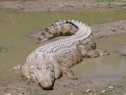 http://commons.wikimedia.org/wiki/File:SaltwaterCrocodile(%27Maximo%27).jpg