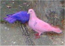 http://en.wikipedia.org/wiki/File:Faringdon_dyed_pigeons.jpg
