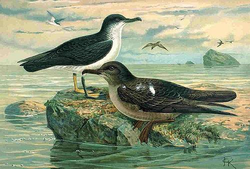 http://commons.wikimedia.org/wiki/File:P_puffinus_griseus.jpg