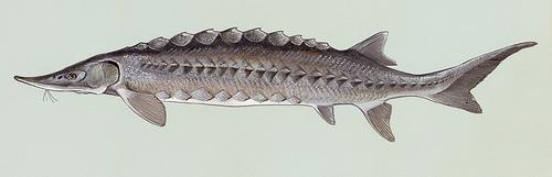 http://commons.wikimedia.org/wiki/File:Acipenser_oxyrhynchus.jpg