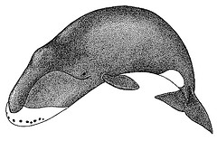 http://commons.wikimedia.org/wiki/File:Drawing_of_the_bowhead_whale.gif