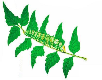 http://commons.wikimedia.org/wiki/File:Silkworm-moth-bombyx-cynthia.jpg