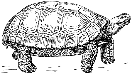http://commons.wikimedia.org/wiki/File:Tortoise_(PSF).png