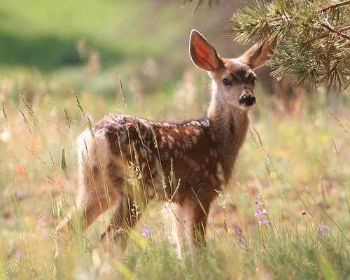 http://commons.wikimedia.org/wiki/File:Fawn_3.jpg