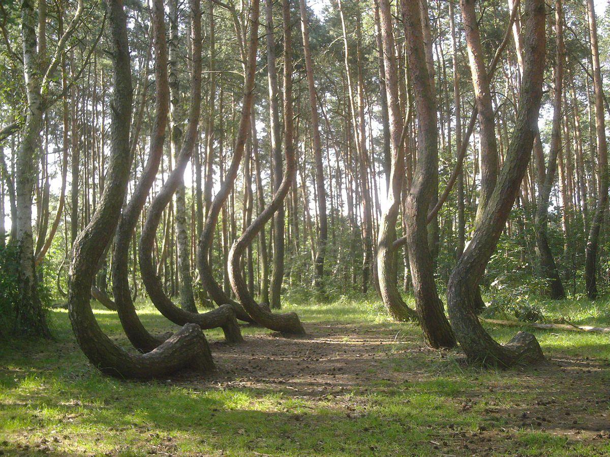 http://commons.wikimedia.org/wiki/File:Nowe_czarnowo-krzywy_las.jpeg