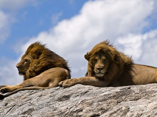 http://commons.wikimedia.org/wiki/File:Lions_on_rock.jpg