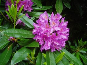 http://commons.wikimedia.org/wiki/File:Rhododendron-by-eiffel-public-domain-20040617.jpg