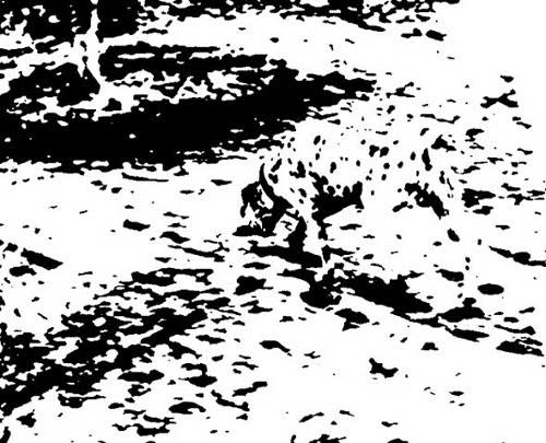 dalmatian photo