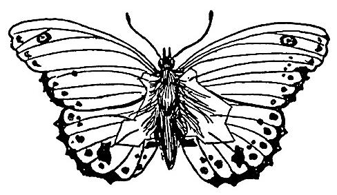 baden-powell butterfly