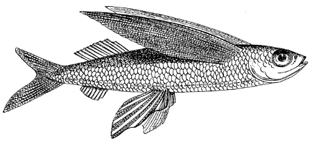 http://commons.wikimedia.org/wiki/File:Flying_Fish_(PSF).png