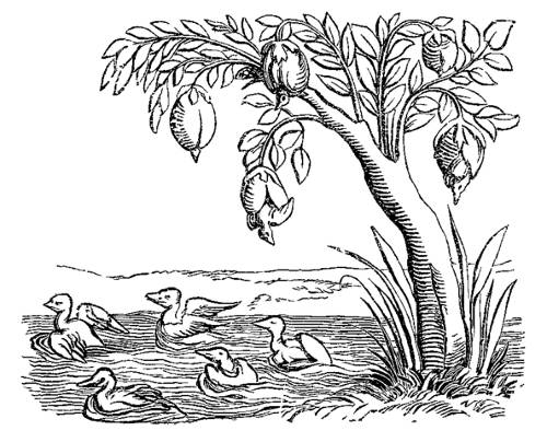 http://commons.wikimedia.org/wiki/File:Barnacle_Geese_Fac_simile_of_an_Engraving_on_Wood_from_the_Cosmographie_Universelle_of_Munster_folio_Basle_1552.png