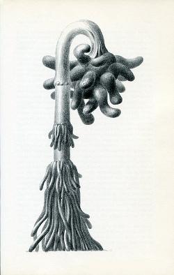sigurya barbulata
