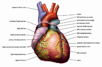 http://commons.wikimedia.org/wiki/File:Anatomy_Heart_English_Tiesworks.jpg