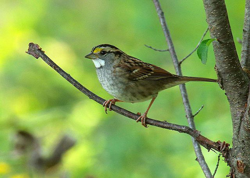 http://commons.wikimedia.org/wiki/File:White-Throated_Sparrow_(15104705620).jpg