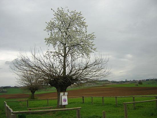 https://commons.wikimedia.org/wiki/File:Bialbero_di_Casorzo.jpg