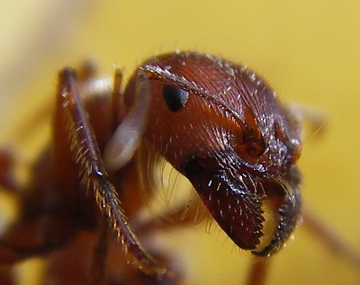 https://commons.wikimedia.org/wiki/File:Ant_head_closeup.jpg