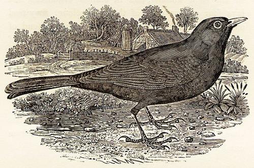 https://commons.wikimedia.org/wiki/File:Blackbird_by_Thomas_Bewick.jpg