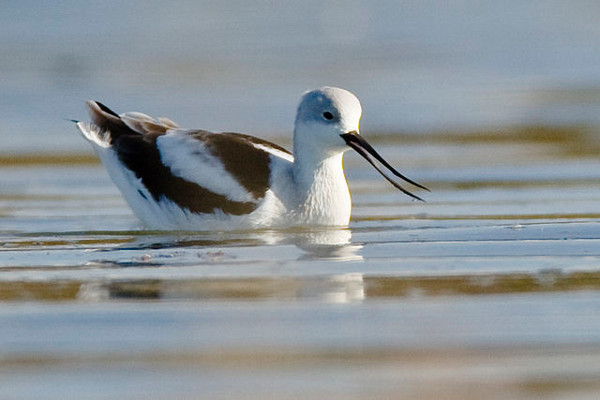 https://commons.wikimedia.org/wiki/File:American_Avocet_winter_plumage.jpg