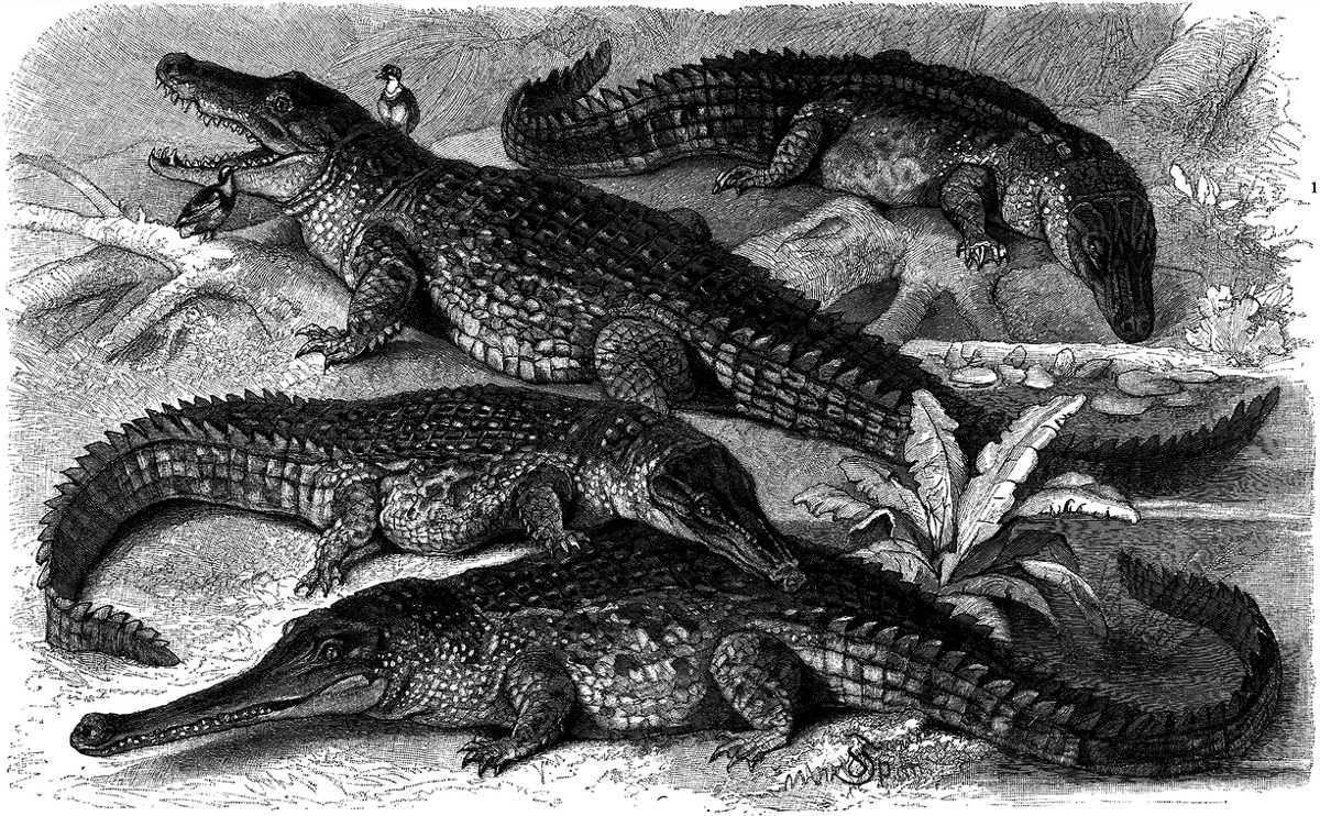 https://commons.wikimedia.org/wiki/File:Krokodile.png