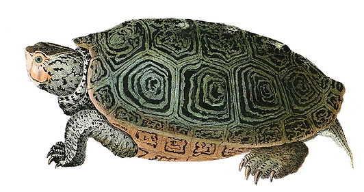 https://commons.wikimedia.org/wiki/File:Malaclemys_terrapinHolbrookV1P12A.jpg