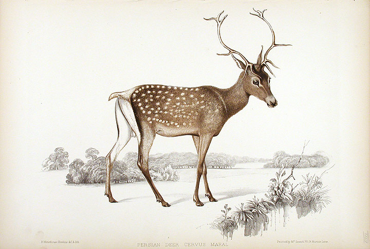 https://commons.wikimedia.org/wiki/File:Benjamin_Waterhouse_Hawkins-Persian_Deer,_Cervus_Maral,_summer.jpg