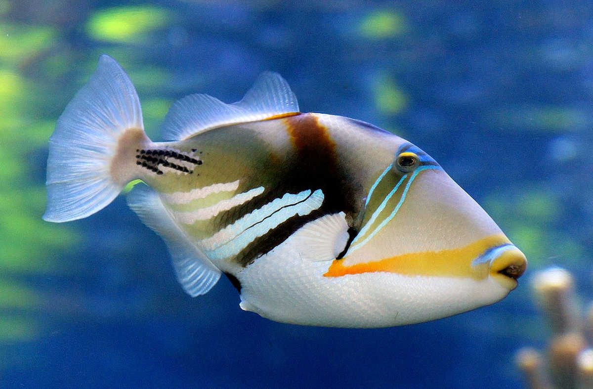 https://commons.wikimedia.org/wiki/File:Reef_trigger_fish._(11111536093).jpg