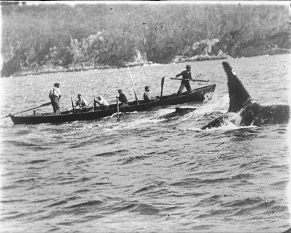 https://commons.wikimedia.org/wiki/File:Killer_Whale_(Old_Tom)_and_whalers.jpeg
