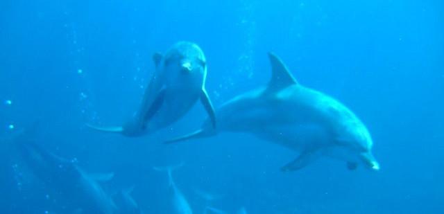 https://commons.wikimedia.org/wiki/File:Dolphin_Mikurajima_Tokyo_Japan.jpg