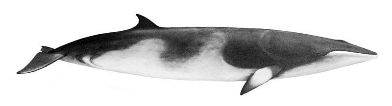 https://commons.wikimedia.org/wiki/File:Balaenoptera_acutorostrata_NOAA.jpg