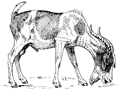https://commons.wikimedia.org/wiki/File:Goat_(PSF).png