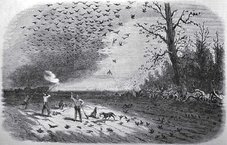 https://commons.wikimedia.org/wiki/File:Passenger_pigeon_shooting_in_Iowa.jpg