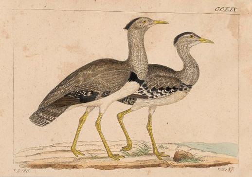 https://commons.wikimedia.org/wiki/File:Eupodotis_cristata_-_1820-1860_-_Print_-_Iconographia_Zoologica_-_Special_Collections_University_of_Amsterdam_-_UBA01_IZ17200037.tif