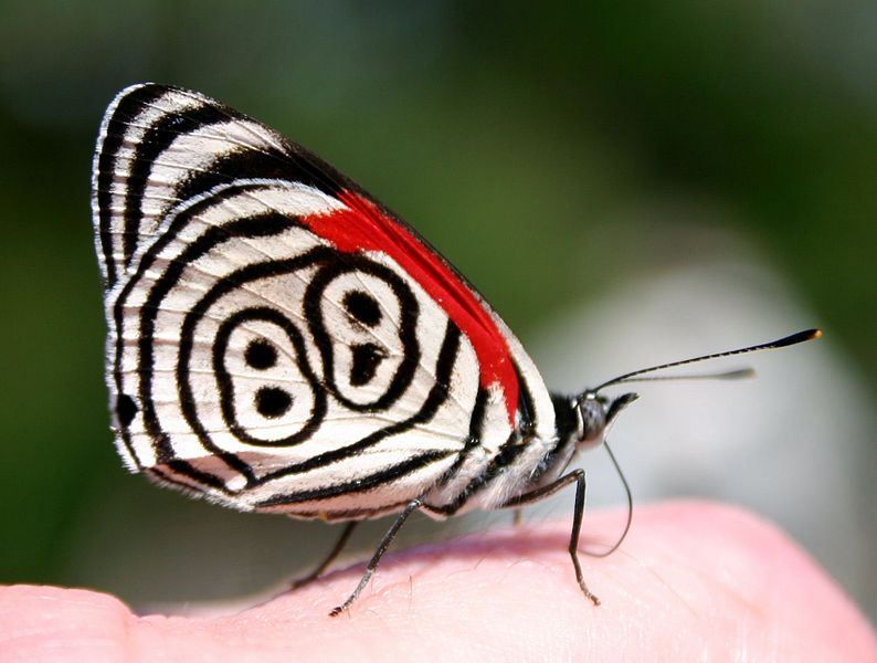 https://commons.wikimedia.org/wiki/File:Eighty-eight_Butterfly_(Diaethria_anna).JPG