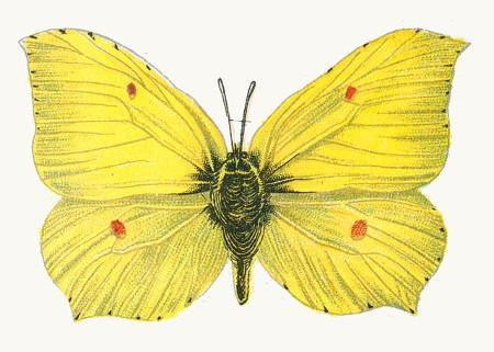 https://commons.wikimedia.org/wiki/File:Gonepteryx_rhamni_male_par_Nemos.jpg