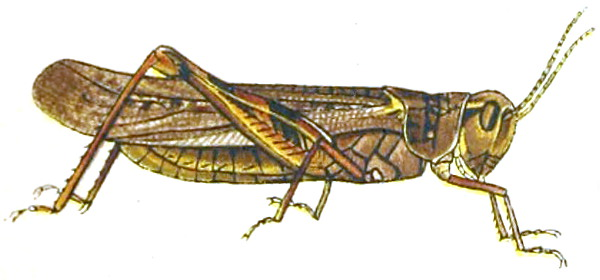 https://commons.wikimedia.org/wiki/File:Melanoplus_spretusAnnReportAgExpStaUM1902B.jpg